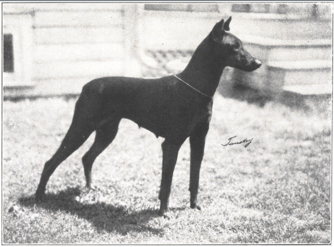 what doberman looked like in 1920