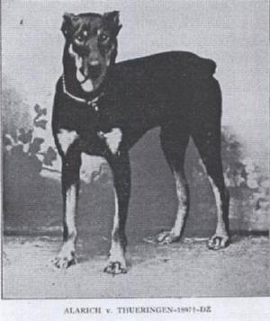 origin of doberman