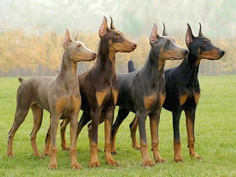 dobermans in different color hair