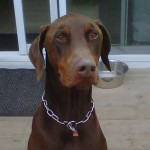 Doberman Training Help For New Owners