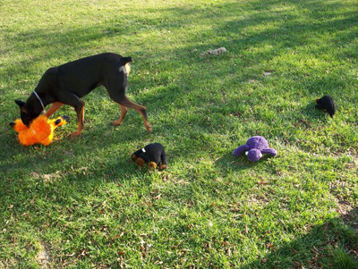 donnie doberman creating toy circle