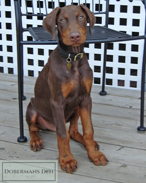 cute red doberman puppy sitting