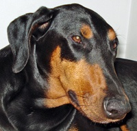Doberman Ear Cropping Styles