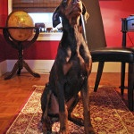 What Does A Doberman Cost?