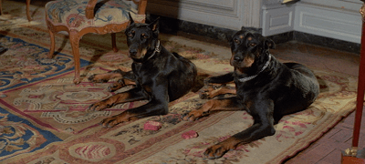 Doberman dogs from Bond movie. Waiting to eat meat on command.