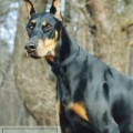 Dobermans – The Manly Dog Breed