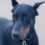 Calming Your Doberman