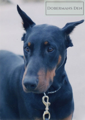 calm your doberman from noises and anxiety