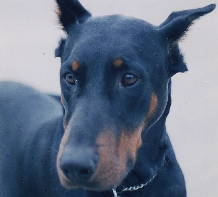 5 Reasons Why Dobermans Attack