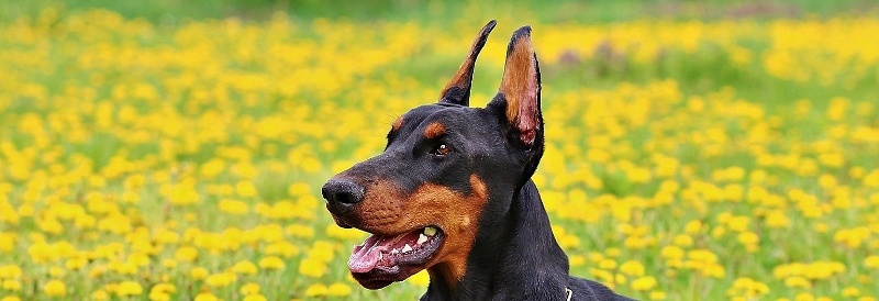 Why You Might Want Your Doberman Cropped