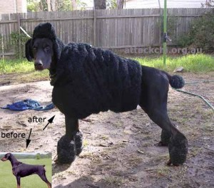 poodle disguise for doberman