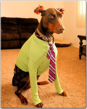 doberman in kilt and tie with ears decorated