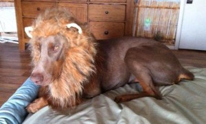 doberman lion costume
