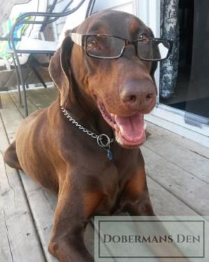 senior doberman wearing eye glasses