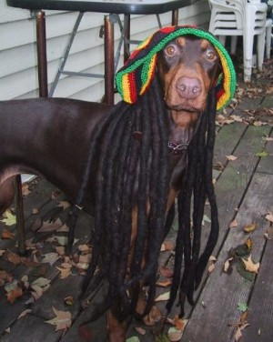 jamaican doberman in wig and hat