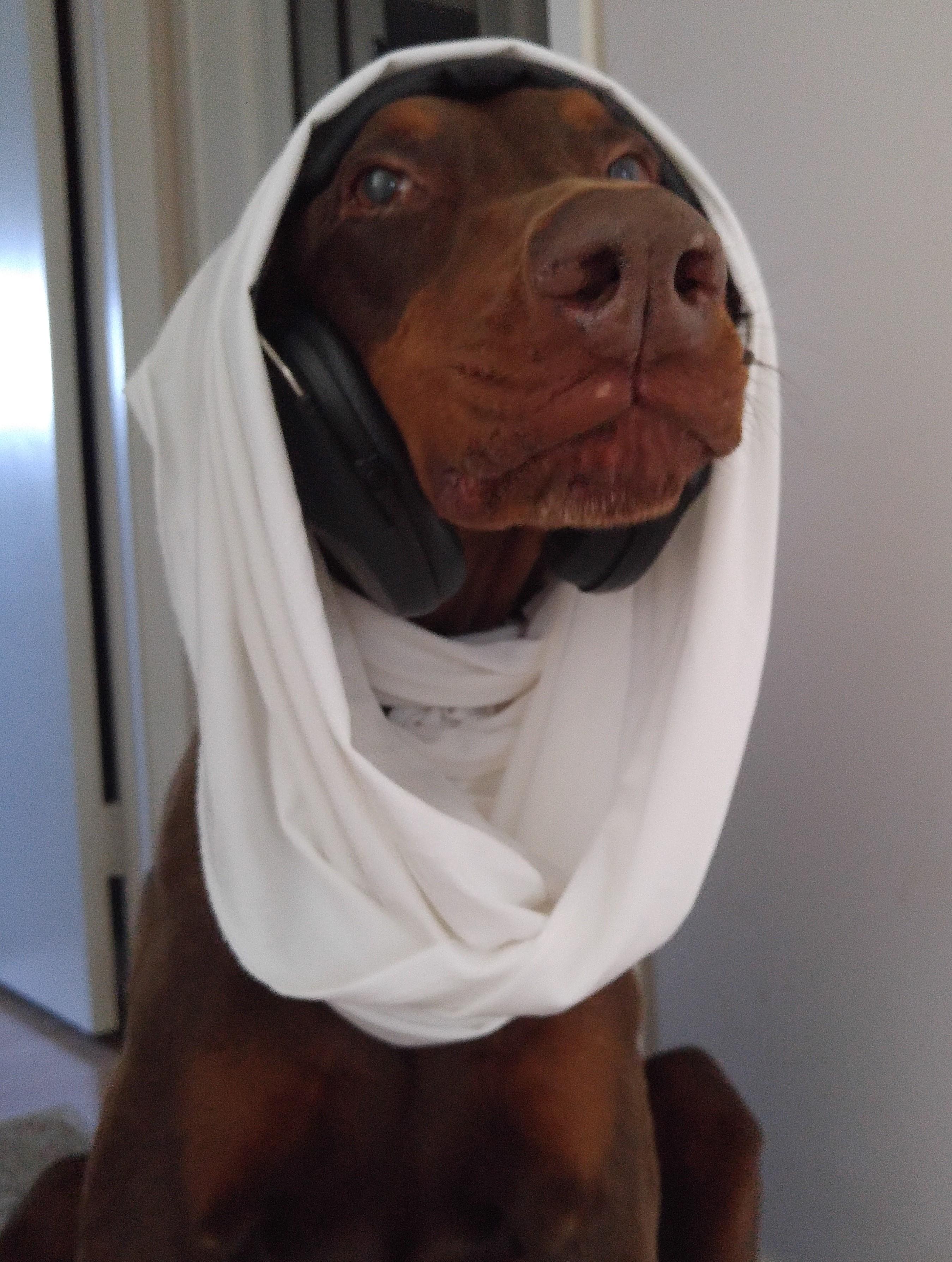 princess leia star wars costume doberman dog